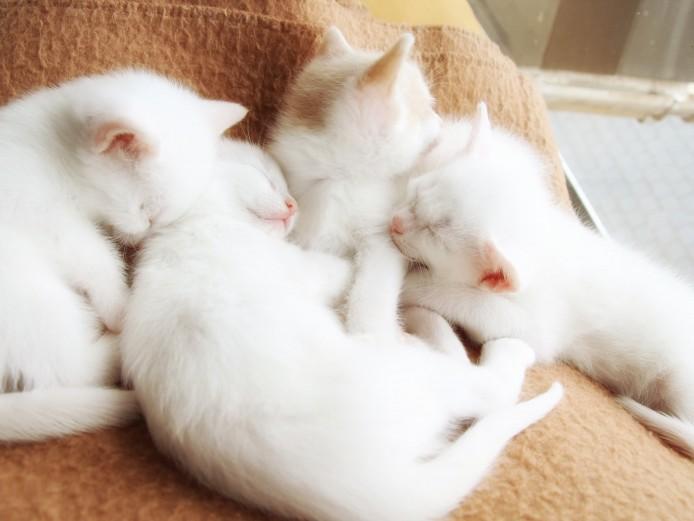 Gorgeous white female kittens
