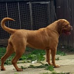 Kc douge de bordeauxs pups for sale