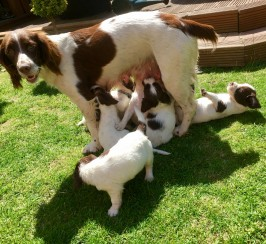 Beautiful Springer pups 2 Dogs 8 Bitches