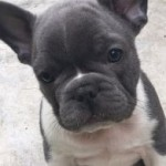 4 x Beautiful Blue French Bulldog Boys for sale