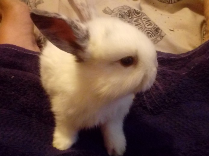 Mini lop x baby rabbits for sale