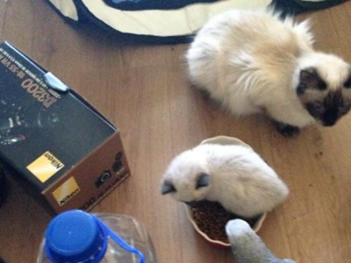 Stunning Chunky Ragdoll Kittens