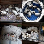 Spaniel puppies for sale