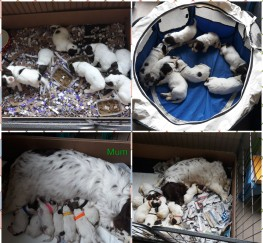 Pets  - Spaniel puppies for sale