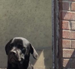 Pets  - Female Rottweiler cross