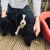 Pets  - Gorgeous working cocker spaniel puppies