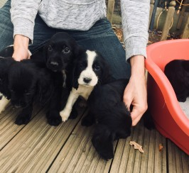 Gorgeous working cocker spaniel puppies