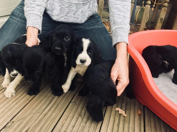 Gorgeous working cocker spaniel puppies