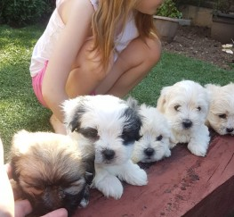 Pets  - Maltipoos for sale