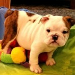 Gorgeous Chunky English Bulldog Puppies