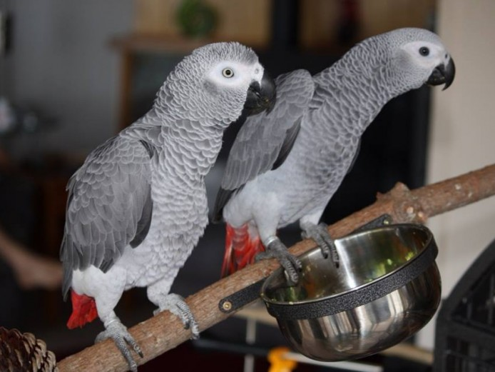 Hand Raised and Tamed pair of African Greys