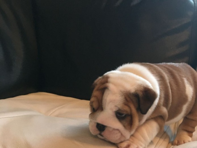 Quality Kc Reg Bulldog Puppies. Top Bloodline