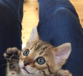 Beautiful Bengal kitten sire for sale