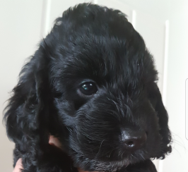 cockapoo f1 girl puppy pra clear
