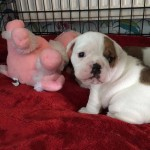 Old tyme bulldog puppy