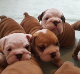 Stunning english bulldog puppies *Straight tails*