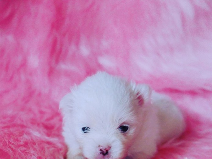 Impeccably Pure Snow White Pomeranian Baby Girl Snowdrop