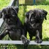Pets  - Pug x jug females x 2