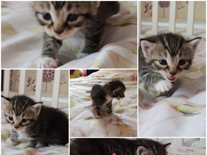 Half ragdoll kittens forsale