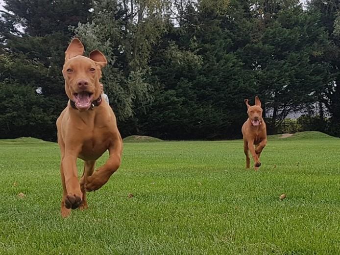 Hungarian Vizla Puppies for Sale