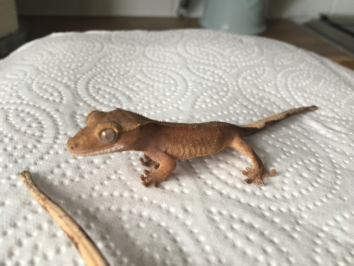 Crested Gecko Unsexed for sale!