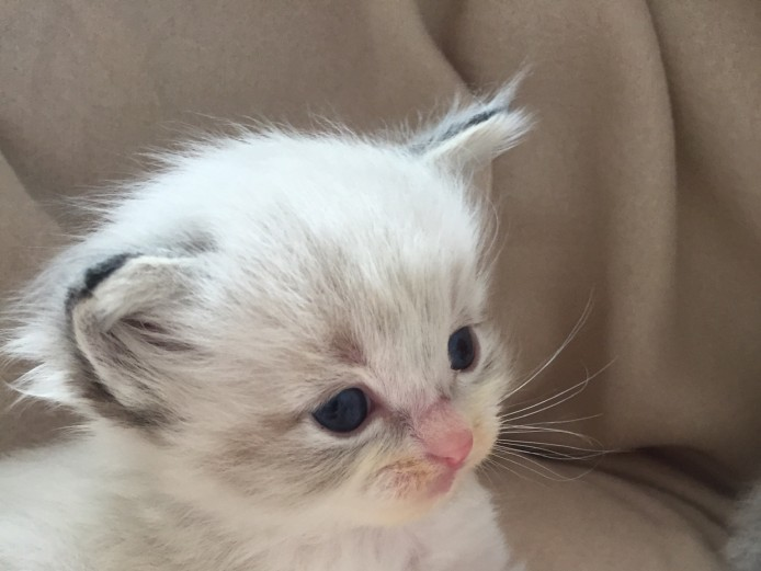 Registered pedigree ragdoll kittens
