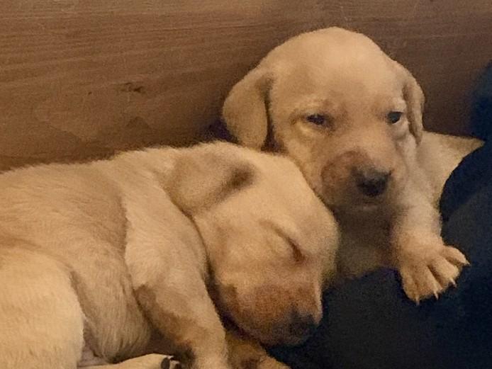 KC Registered Labrador Pups