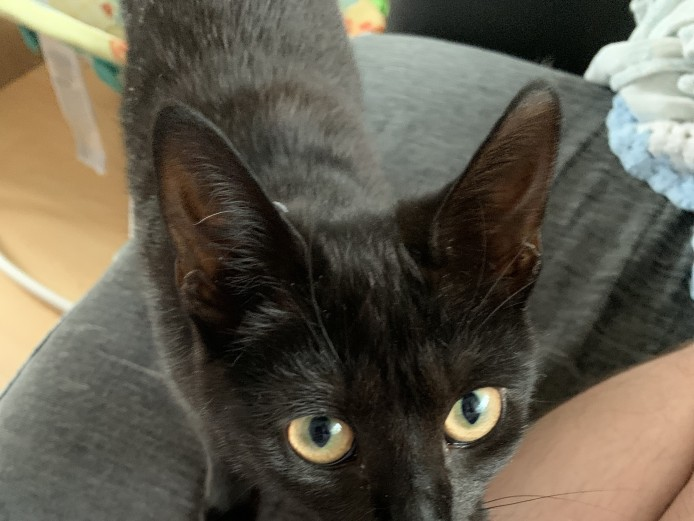 9 month old female kitten for sale