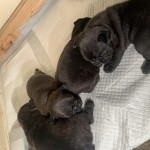 Stunning Kc Blue French Bulldog Puppies