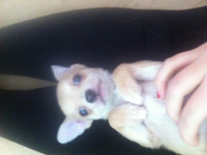 Full pedigree lilac chihuahua pups READY NOW!