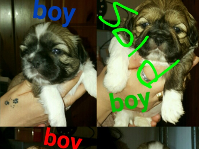 Lovely shihtzu puppy for sale out of litter of 5