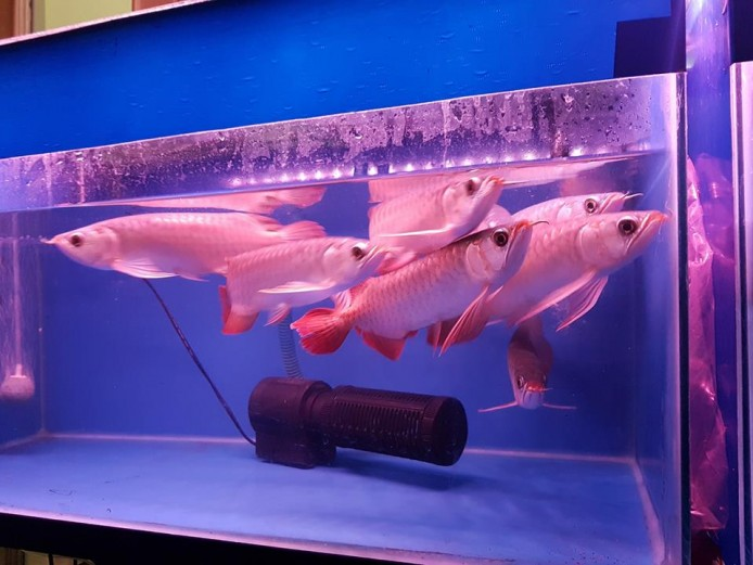 Albino wels catfish,flathead catfish,blue catfish available