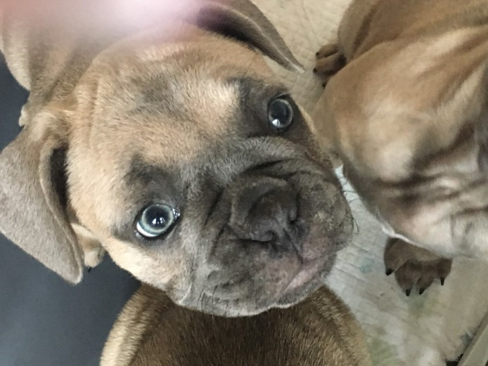 Beautiful KC registered female French bulldogs