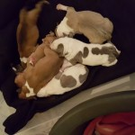 Beautiful Staffie Pups for sale