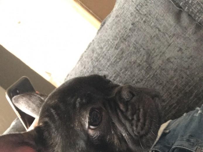 Beautiful French Bulldog