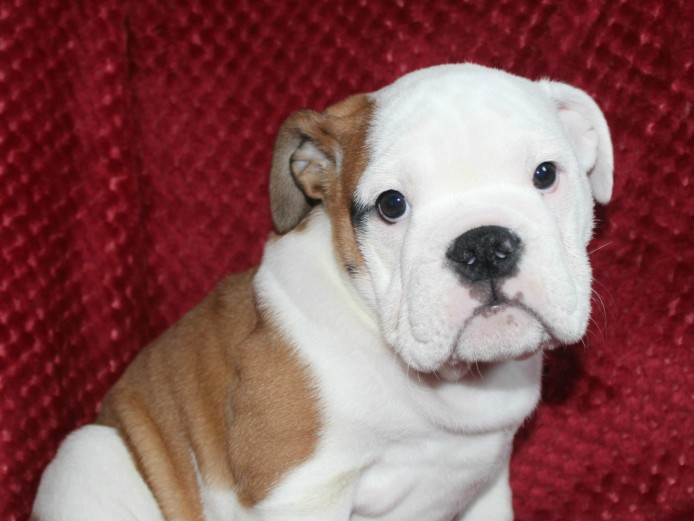 British Bulldog puppies Kc Registered