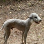 Bedlington Terriers Cross Puppies For Sale