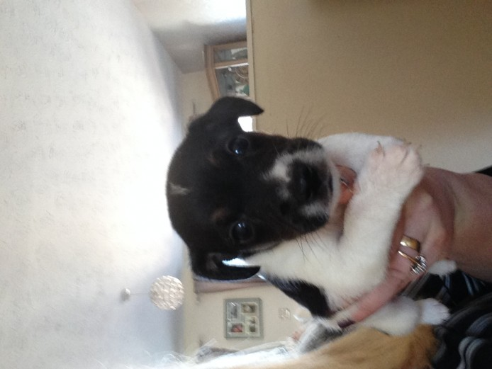 2 male Jack Russell puppies