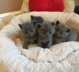 Beautiful British Shorthair Kittens