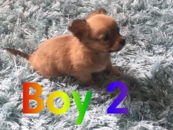 Pedigree long haired small chihuahua