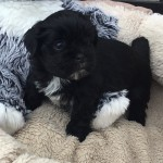 Gorgeous pedigree Lhasa Apso Puppies . Excellent quality