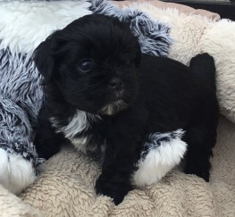 Pets  - Gorgeous pedigree Lhasa Apso Puppies . Excellent quality