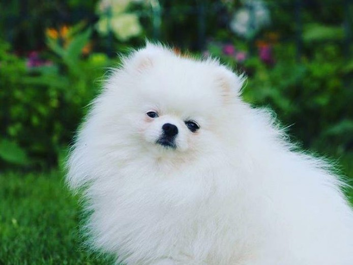 Impeccably Pure Snow White Pomeranian Baby Girl Periwinkle