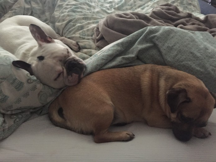 White French Bulldog KC Registered 5 years old