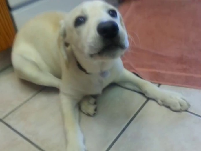 female yellow labrador to re-home