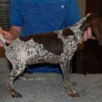 KC Reg GSP Pups Hip Scored Parents Ready Now