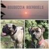 Pets  - Boerboel puppies are here