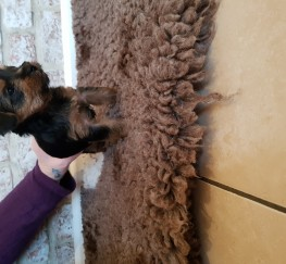 Pets  - Yorkshire terrier pups