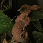 Baby panther chameleons for sale