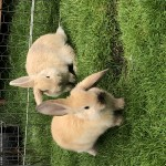 Two baby bunnies for sale